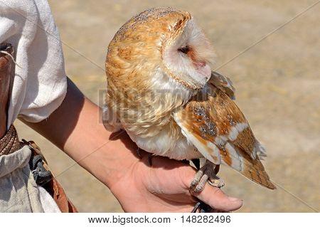 the Barn Owl sitting on a hand