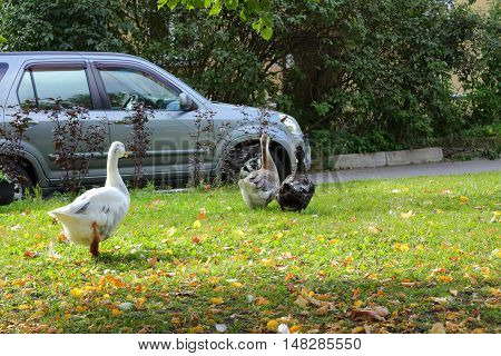 Geese on the lawn. Geese and car. Poultry in the city of Tsarskoye Selo.