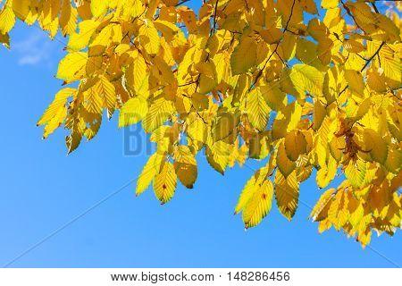Vibrant fall yellow golden Hickory tree foliage border on blue sky, retro toned