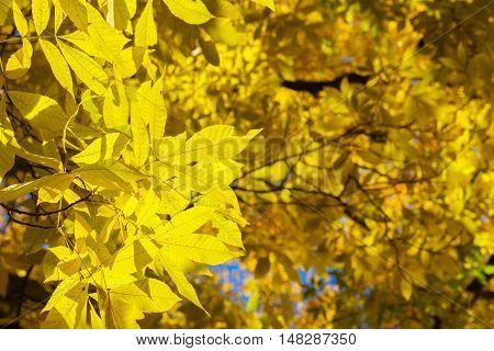 Vibrant yellow golden Hickory fall tree fresh foliage background