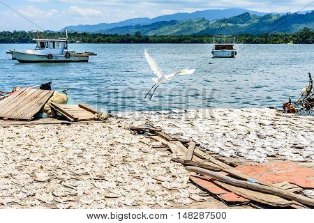 Egret flies over fish drying in sun by water on Rio Dulce, Livingston, Guatemala