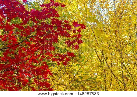Vibrant red maple leaves in fall yellow park poster
