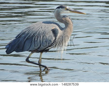 A Great blue heron, Ardea herodias, strolls through the water
