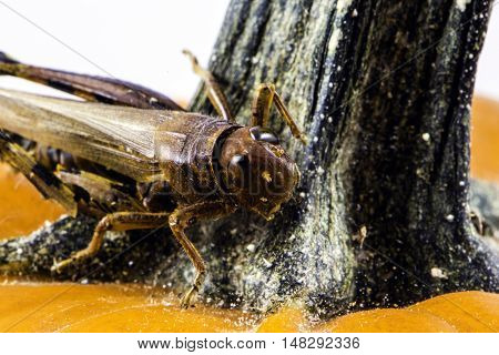 isolated macro grasshopper on orange pumpkin stem