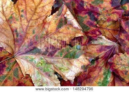 Autumn multicolor dry maple-leafs. Nature background .