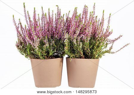 Flowers of pink Calluna vulgaris in pot on white background