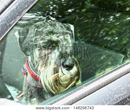 mittel schnauzer dog left alone in car close up photo throuth the window