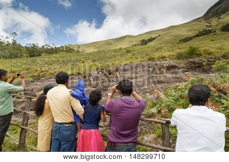 KERALA, INDIA - AUGUST 29, 2015: Visitors taking pictures of the endangered Nilgiri Tahrs at the Eravikulam National Park in Rajamalai Hills near Munnar.