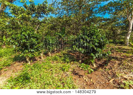 Coffee Plantation At Cuba