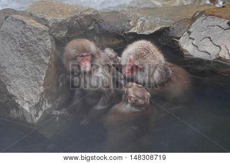 Monkeys family in hot springs. Jigokudani Monkey Park. Nagano. Japan.