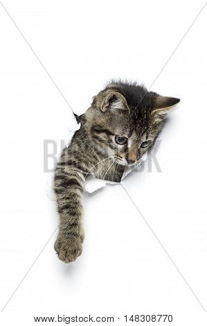 Kitty in hole of torn paper, little grey tabby cat getting out through torn white background, funny pet