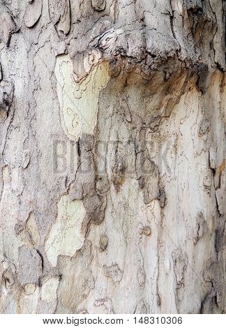 The bark on trunk of sycamore (Platanus). Background.