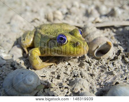Little toad with blue eyes, macro photo