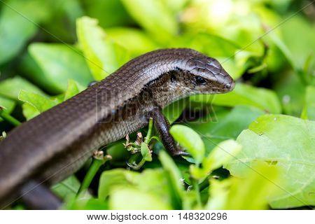 Monitor Lizard - Varanus On Tree