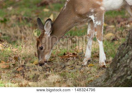 Male Piebald Whitetail Deer
