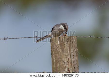 Loggerhead shrike eating a bug on a fence post