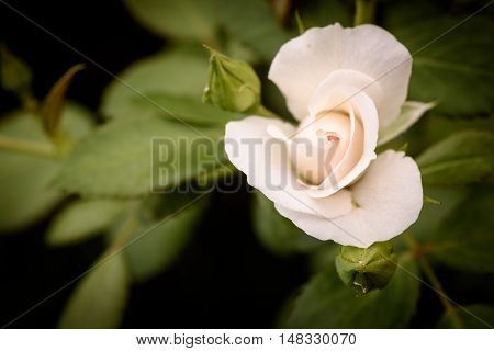 White Rose And Garden Background