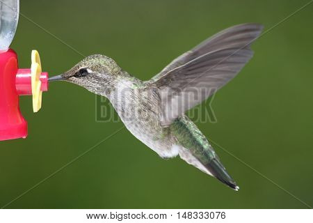 Annas Hummingbird (Calypte anna) in flight at a feeder with a green background