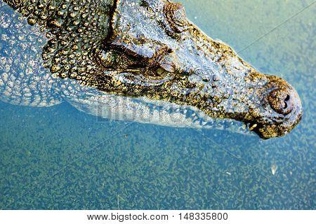 Big Brown and Yellow Amphibian Prehistoric Crocodile