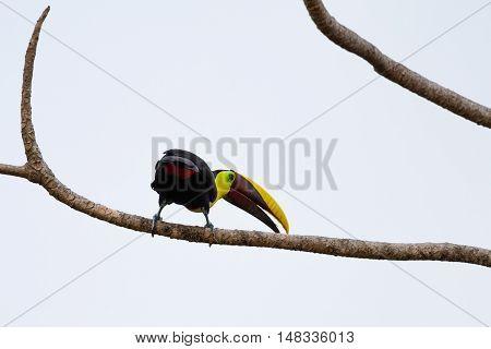 Chestnut Mandibled Toucan