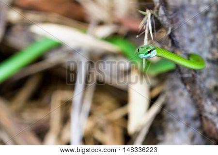 Leptophis Ahaetulla Or Parrot Snake
