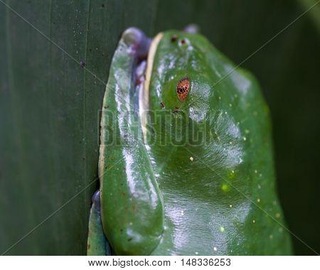 Splendid Leaf Frog - Cruziohyla Calcarifer