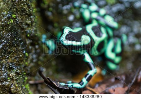 Poison Dart Frog - Dendrobatus Auratus