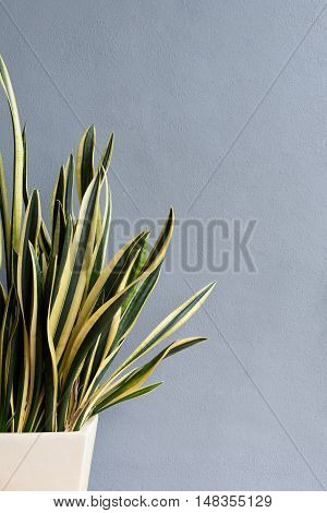 Potted plant mother-in-law's tongue Sansevieria trifasciata with textured background and copyspace