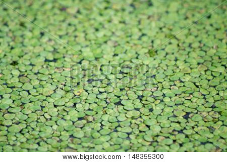 Blurred green spawn on water in the pond