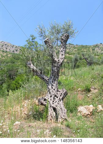 Old olive tree in the mountains. Summer in Montenegro