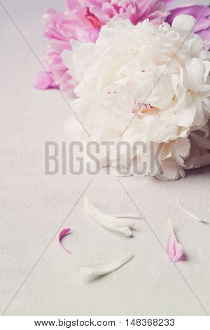 Beautiful pink and white peony flowers on gray stone table.