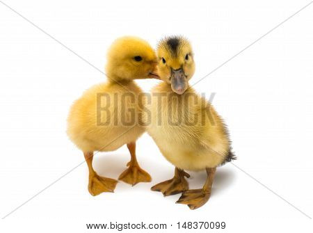 small geese animal isolated on white background