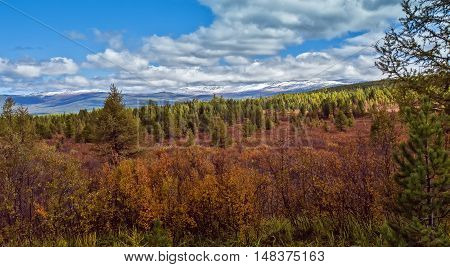 yellow and red autumn Dwarfish birches in the Altai mountain