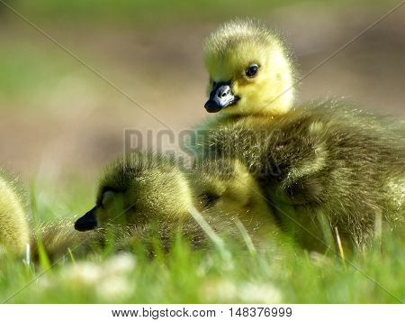 Baby Canada goose goslings in the grass.
