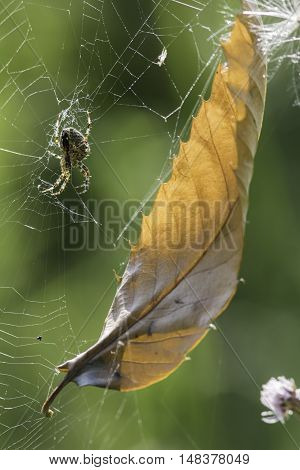 This spider sits on a broken web that has captured a dead leaf. Summer comes to an end.