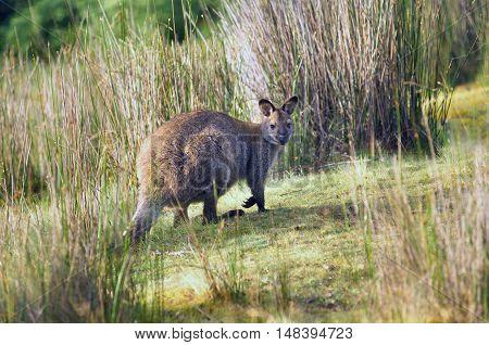 Bennetts Wallaby Tasmania