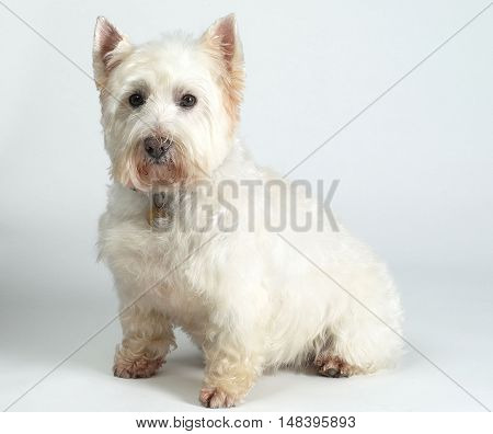 a white West Highland Terrier seated on a white background