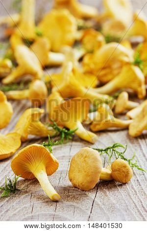Yellow chanterelle or cantharellus cibarius forest mushrooms  harvest on a rustic wooden background.