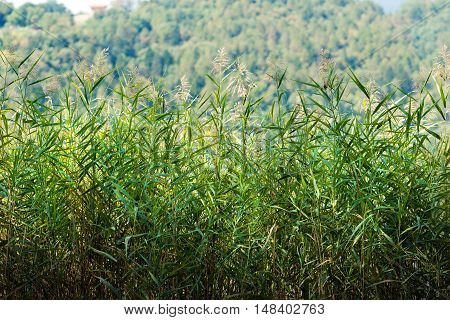 Detail of green reeds (cane thicket) in summer with a blurred forest in the background. Levico lake Trentino Alto Adige Italy