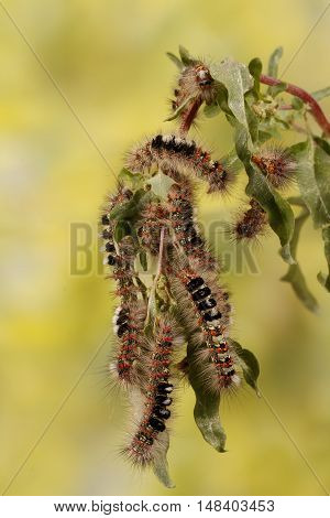 Caterpillar illustration. Closeup a lot of caterpillars chews the leaves of the plant. For background image banner.