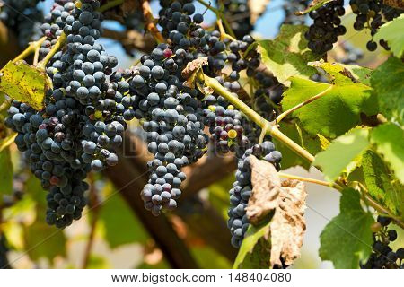Red bunches of grapes in a vineyard in Trentino Alto Adige before harvest Italy Europe