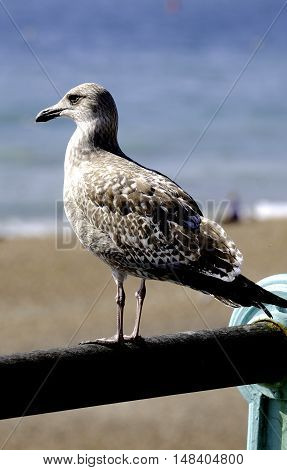 a single seagull pertched on a railing looking out to sea