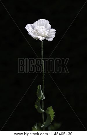 A single white flower with green stem against a black background