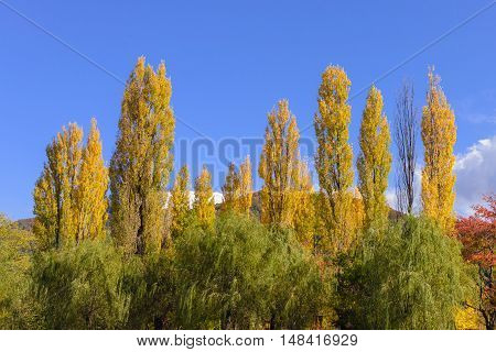 golden ginko tree in autumn again blue sky