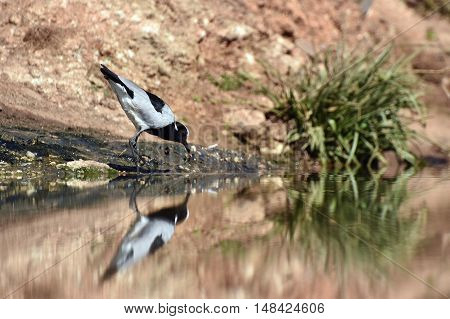 Picture of a Blacksmith Lapwing and its reflection at a waterhole in Madikwe game reserve in South Africa.