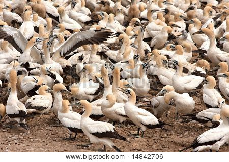 Cape Gannets Birds