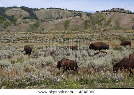 Bison On The Open Range