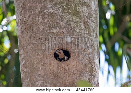 Northern Flicker peeking out of a hole in a tree