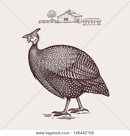 Guinea fowl bird. Vector illustration. Isolated on white background.