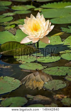Yellow lily pad and reflection with lily pads